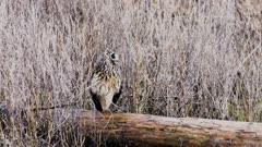Long Eared Owl perched on log rotates heads head to watch eagle fly above, camouflaged