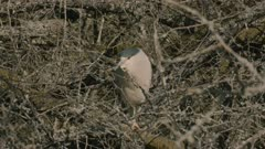 Black Crowned Night Heron hidden in the branches, slow motion