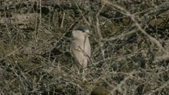 Black Crowned Night Heron hidden in the branches, turns head and raises leg, slow motion