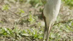 Sand Crane pecking in dirt for food, Extreme Close Up