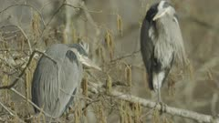 Grey Herons perched in tree above water, wind blowing their feathers - Slow Motion