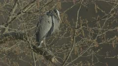 Grey Heron in tree preening itself - Slow Motion