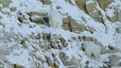 Two Mountain Goats high up walking along snow covered rock face ledge forging for food