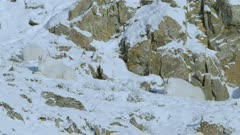 Three Mountain Goats high up resting in snow covered rock face ledge