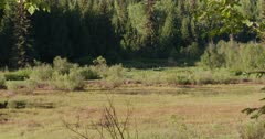 2 Grizzly bears grazing in a grassy meadow in the morning light - Long zoom in -  Slow Motion