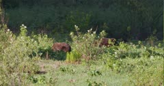2 Grizzly bears grazing in a grassy meadow in the morning light - Long zoom out -  Slow Motion