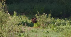 2 Grizzly bears grazing in a grassy meadow in the morning light - Long zoom in -  Slow Motion rizzly bears grazing in a grassy meadow in the morning light -  Slow Motion