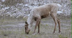 Caribou (Northern Caribou) looking towards camera, then lowers head to graze - Slow Motion