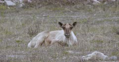 Caribou lying in sub-alpine grass chewing cud, 2nd caribou walks behind, zoom out to 2 shot - Slow Motion