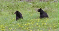 2 Black Bears (identical) turn heads at same time watching, then flee to woods behind them - Slow Motion