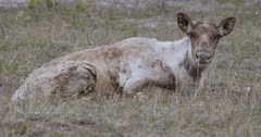 Caribou lying in sub-alpine grass chewing cud - Slow Motion