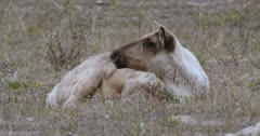 Caribou (Northern Caribou) lying in sub-alpine grass regurgitates cud and chews it - Slow Motion