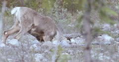 Caribou (Northern Caribou) grazing in hole amongst rocks - Slow Motion