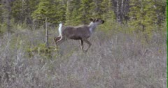 Caribou (Northern Caribou) runs through grass and disappears - Slow Motion