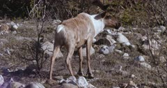 Caribou Bull full rack (Northern Caribou) watching up rock, zoom wide to reveal 2 cows following  - Slow Motion