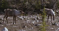 Caribou (Northern Caribou) bull and 2 cows grazing in rocky meadow  - Slow Motion
