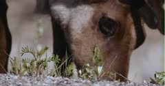 Caribou (Northern Caribou) bull grazing in a rocky meadow - Extreme Close Up  - Slow Motion