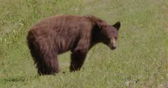 Cinnamon Bear (Black Bear) grazing on grass in the sun, raises head to look at camera - Slow Motion