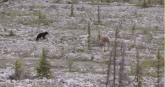 Young Caribou crossing old glacial wash out encounters black bear coming other way - FUNNY response - Slow Motion