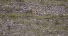 Young Caribou crossing old glacial wash out after encountering black bear coming other way - Part 2 - Slow Motion