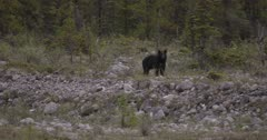 Young Caribou crossing old glacial wash out after encountering black bear for a second time - FUNNY - Part 3 - Slow Motion