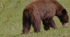 Cinnamon Bear (Black Bear) grazing on grass in the sun - Slow Motion