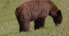 Cinnamon Bear (Black Bear) grazing on grass in the sun - Slow Motion