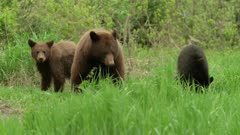 Large cinnamon (black) sow mother bear with 2 cubs, 1 black 1 cinnamon grazing
