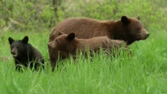 Large cinnamon (black) sow mother bear with 2 cubs, 1 black 1 cinnamon grazing, raise heads towards camera