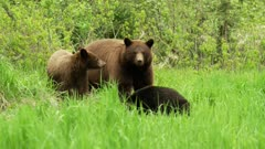 Large Cinnamon (black) sow mother bear with 1 black cub and 1 cinnamon grazing, Cinnamon cub exits frame - Slow Motion