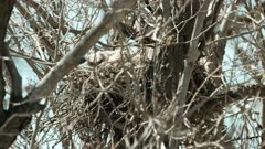2 Great Horned owlets in nest, 1 looks in to camera - Slow Motion