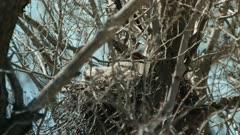 Great Horned owlet in nest