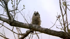 Great Horned owlet on branch, wind blowing feathers