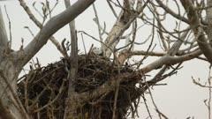 Great Horned owlet in nest peering over the edge
