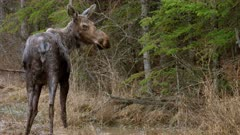 Prairie Moose drinking from stomp pond in early spring, cautious, looks towards camera - Slow Motion
