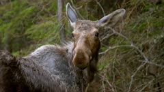 Prairie Moose drinking from stomp pond, cautious, looks towards camera, exits in to forest - Slow Motion