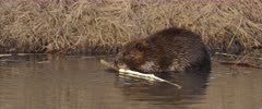 Beaver chewing on branch in pond at sunset - Slow Motion 90FPS