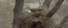 Golden Eagle with two eaglets and left over prey in nest on very windy day - Slow Motion