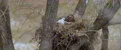 Golden Eagle with eaglet looking around and preening. left over prey in nest on very windy day - Slow Motion