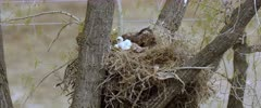 Golden Eagle with two eaglets and left over prey in nest. One lifts head. very windy day - Slow Motion