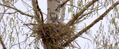 Great Horned owl in nest looked around