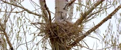Great Horned owl in nest looked around - Slow Motion