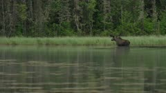Moose bull exits lake into bush as morning mist travels through frame