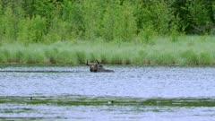 Moose Bull eating from bottom of lake