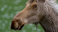 Moose Cow after exiting lake - Close Up