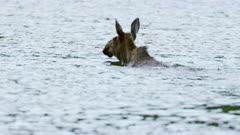 Moose Cow winning across lake - Slow Motion