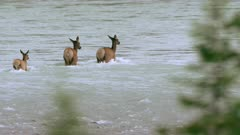 Three cow Elk crossing river with crippled calf