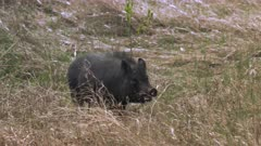 Feral pig forging in abandoned farm yard, drooling at mouth - Slow Motion