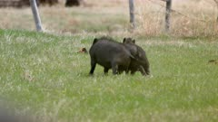 Two feral pigs dancing ritual with each other in abandoned farm yard - Slow Motion