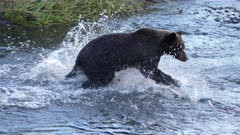 Grizzly (Brown Bear) chasing salmon in the river at sunset super slow motion